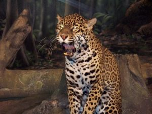 1024px-jaguar_milwaukee_county_zoo